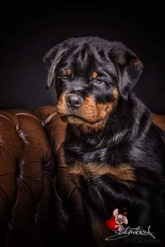 """Check out our web site for additional relevant information on """"rottweiler puppies"""". It is actually an outstanding location for more information. Teddy Bear Puppies, Cute Puppies, Cute Dogs, Dogs And Puppies, Bear Puppy, Doggies, Rottweiler Love, Rottweiler Puppies, Rottweiler Facts"""