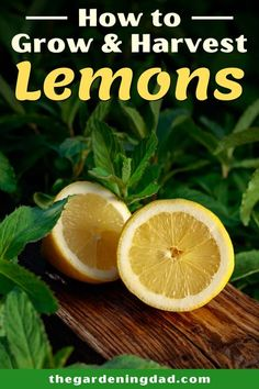 Learn easy tips on How to Grow & Harvest Lemons. These simple instructions to Growing Lemons will give you expert ways for more lemons! #lemons #fruit #gardening