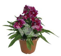 Dianthus chinensis M-11. Vivercid.