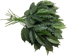 Sia Coffee Leaf, Stems of 6, Green, 18-Inches Tall (Pack of 24) channel http://www.amazon.com/dp/B0046H98TC/ref=cm_sw_r_pi_dp_n9fjvb17RQTN2