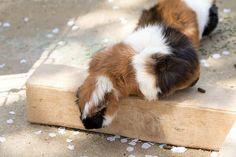 Guinea Pig ふれあい動物園のモルモット pettingzoo guineapig zoo ふれあい動物園 動物園 モルモットモルモット