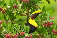 hope you like my new image from my recent trip to Costa Rica http://www.natezeman.com/photo/chestnut-mandibled-toucan/… #photography #CostaRica