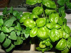 herbs http://eighthbrick.blogspot.com/
