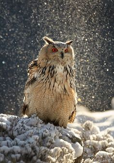 Such a beautiful Owl in a snow flurry.