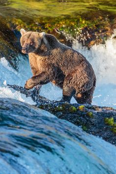 Grizzly Bear (Alaska) Gilles Baechler