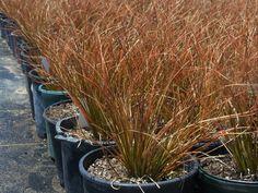 Carex Orange