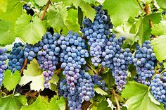 De 50 se disparó a 100 pesos kilo de uva en #Izúcar