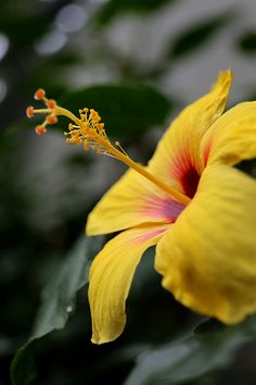 ✯ Yellow Hibiscus