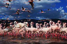 flamingo migration 01