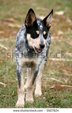 stock photo : 4 month old female Blue Heeler pup