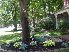 Hostas around tree