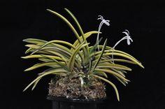 takara nishiki (宝錦) 02 - 04.28.17 | by Mdmiranda88 Rare Orchids, Golden Star, Miniature, Flowers, Plants, Miniatures, Plant, Royal Icing Flowers, Flower