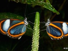 Photo: Matching glasswings reflect upon each other