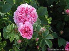 'Königin von Dänemark ' Rose Photo