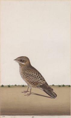 A Common Indian Nightjar (Caprimulgus asiaticus), alias Kalindi the Nightjar, Siddhartha's companion on his quest
