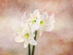 Picotee Amaryllis by Terry Davis #Amaryllis #flower