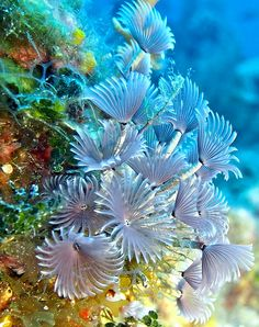 A cluster of Social Feather Duster worm anemones on a coral reef, feeding on the currents of the ocean. Underwater Creatures, Underwater Life, Ocean Creatures, Weird Creatures, Under The Ocean, Sea And Ocean, Beautiful Sea Creatures, Animals Beautiful, Poisson Mandarin