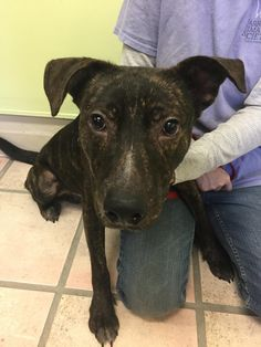 Waffles is an adoptable Pit Bull Terrier searching for a forever family near Newburgh, IN. Use Petfinder to find adoptable pets in your area.