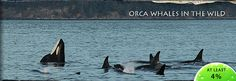 Whale Watching - Washington