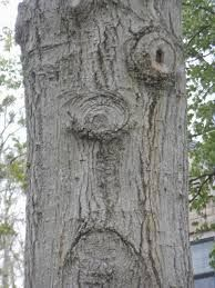Tree with face Weird Trees, Tree People, Tree Faces, Tree Carving, Unique Trees, Nature Tree, Growing Tree, Green Man, Nature Images