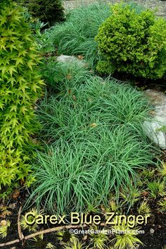 Carex Blue Zinger -