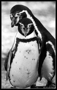 Penguins by lomoboy on DeviantArt