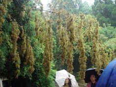 Flowering Bamboo   Courtesy:Joi