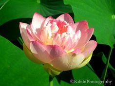Pink Lotus, Missouri Botanical Garden Missouri Botanical Garden, Pink Lotus, All Pictures, Pretty In Pink, Flower Power, Bloom, Rose, Flowers, Plants