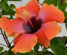 NEW in 2015 Social Butterfly™ #PatioParty #Hibiscus