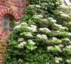Climbing Hydrangea hydrangea anomala petiolaris