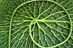 Underside of a giant Amazonian water lily pod