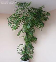 Bamboo Palm, Reed Palm, Seifriz's Bamboo Palm (Chamaedorea seifrizii)