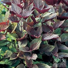 Plant Profile for Eupatorium rugosum 'Chocolate' - Chocolate Boneset Perennial / this has beautiful chocolate brown leaves with green underneath  and tiny white flowers , love this plant