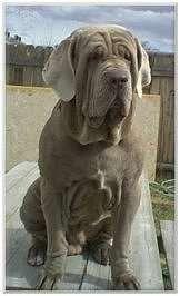 Everything I admire about the Dignified Awesome Mastiffs Mastiff Dog Breeds, Mastiff Puppies, Beautiful Dog Breeds, Beautiful Dogs, Japanese Mastiff, Neapolitan Mastiffs, Cane Corso Dog, Huge Dogs, Cute Little Animals