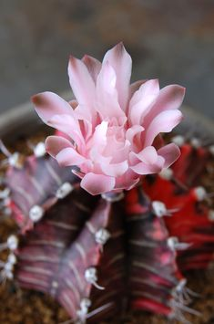Blooming #Cactus #houseplants, care tips, http://www.houseplant411.com/houseplant/cactus-plant-how-to-grow-care-tips