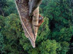 Organisé par le National History Museum de Londres, ce prestigieux concours photo récompense les plus belles images de photographie animalière, sélectionnées par le jury parmi plus de 50 000 photos venues de 95 pays. Cette année, c'est le photographe américain Tim Laman qui remporte le titre de Wildlife Photographer of the Year