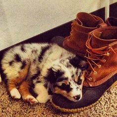 I once found one of the puppies curled up on my dad's shoes like this. We'd frantically run around the house looking for him cause he'd gotten out of his crate and he was not five feet away, sleeping where he could smell dad. Cute little bugger. Just like this picture.