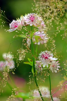 Astrantia 2 by George-kirk.deviantart.com on @deviantART                                                                                                                                                                                 Plus