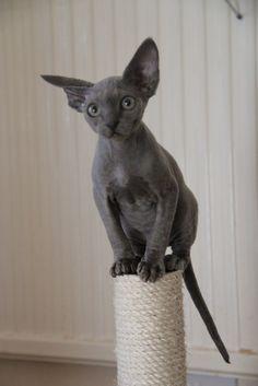 New cats cute hairless ideas Cute Cats And Kittens, I Love Cats, Cool Cats, Baby Cats, Baby Hairless Cat, Bastet, Sphinx Cat, Rex Cat, Cat Room