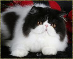 Persian Cat White Persian - Most Affectionate Cat Breeds - Most affectionate cat breeds create a strong bond with their families. Sometimes they even create a particularly close relation. Pretty Cats, Beautiful Cats, Animals Beautiful, Cute Animals, Cute Cats And Kittens, Kittens Cutest, Persian Kittens, Exotic Shorthair, Fluffy Cat