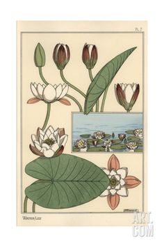The Water Lily, Nelumbo Lutea, And Flower Parts Giclee Print by Eugene Grasset at Art.com