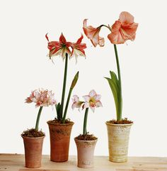 Amaryllis in clay pots