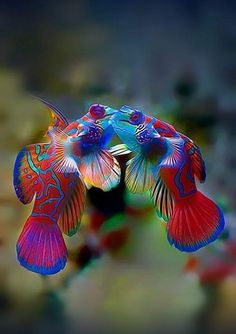 The mandarin fish, one of the most beautiful fish of the reef.-- The mandarin fish, one of the most beautiful fish of the reef. Underwater Creatures, Underwater Life, Ocean Creatures, Pretty Fish, Beautiful Fish, Beautiful Sea Creatures, Animals Beautiful, Colorful Fish, Tropical Fish
