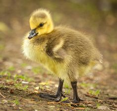 Gosling by iangunning1 #animals #animal #pet #pets #animales #animallovers #photooftheday #amazing #picoftheday