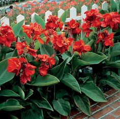 Tropical Bronze Leaf Scarlet is a brilliant red variety of Dwarf Canna Lily with deep green foliage. Dwarf varieties grow to about 1m tall.
