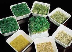 Cozinha Natureba: Dicas básicas sobre germinação de sementes