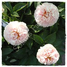 www.solarisfarms.com Images Peonies Herbaceous Callisto%20crop.JPG