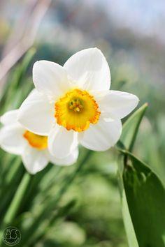 Oravankesäpesä | Narsissi Narcissus