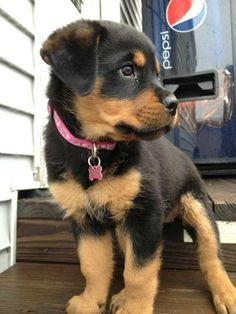 Post with 0 votes and 1263 views. speaking of rottweiler puppies, here's my dad's new pup, Bella. Rottweiler Love, Rottweiler Puppies, German Rottweiler, Beagle, Rottweiler Names, Cute Dogs And Puppies, I Love Dogs, Doggies, Chihuahua Dogs
