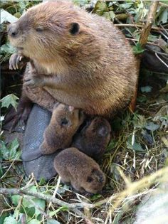 Mama beaver and her 3 babies adorables funny graciosos hermosos salvajes tatuajes animales Cute Creatures, Beautiful Creatures, Animals Beautiful, Cute Baby Animals, Animals And Pets, Funny Animals, Strange Animals, Animal Babies, Baby Beaver